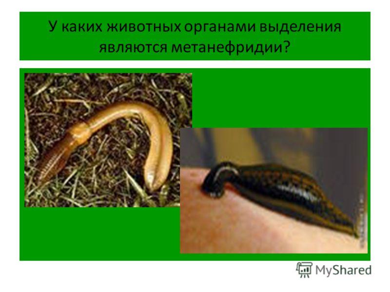 У каких животных органами выделения являются метанефридии?