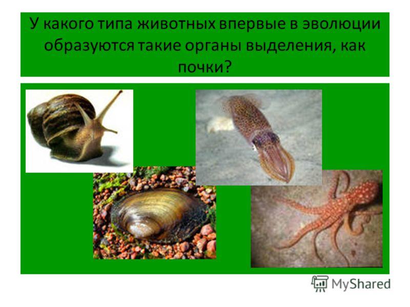 У какого типа животных впервые в эволюции образуются такие органы выделения, как почки?
