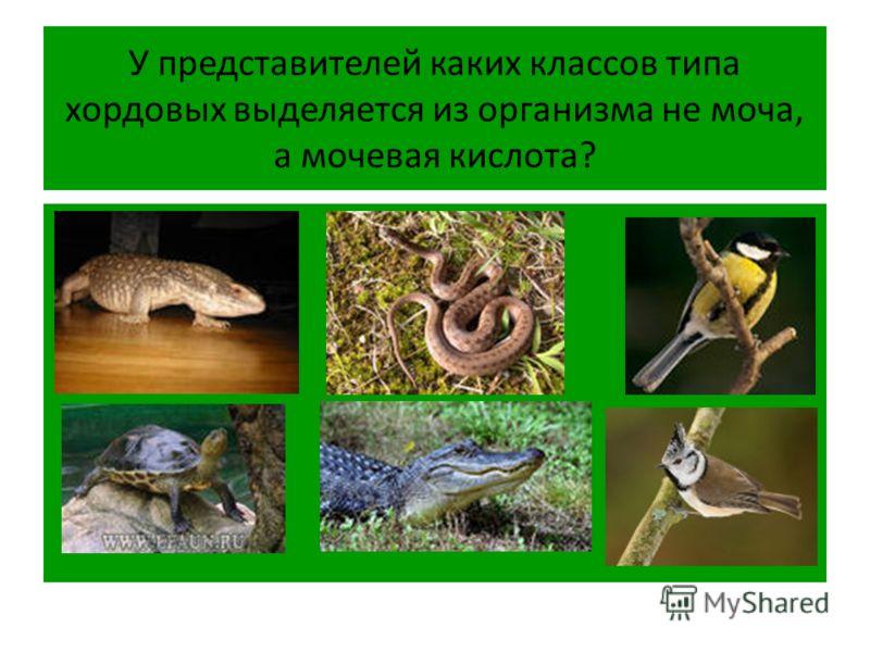 У представителей каких классов типа хордовых выделяется из организма не моча, а мочевая кислота?