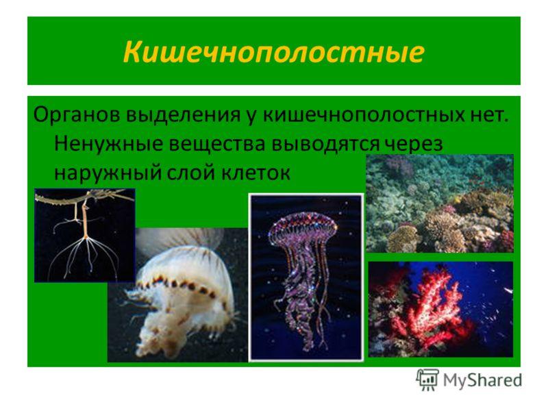 Кишечнополостные Органов выделения у кишечнополостных нет. Ненужные вещества выводятся через наружный слой клеток