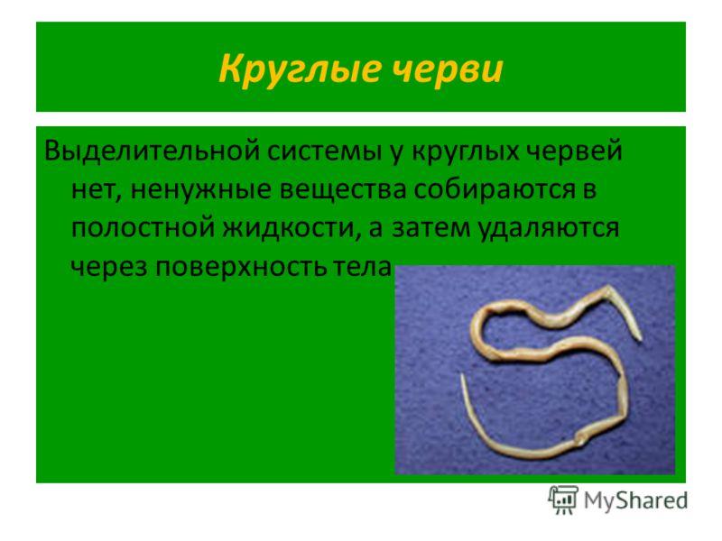 Круглые черви Выделительной системы у круглых червей нет, ненужные вещества собираются в полостной жидкости, а затем удаляются через поверхность тела