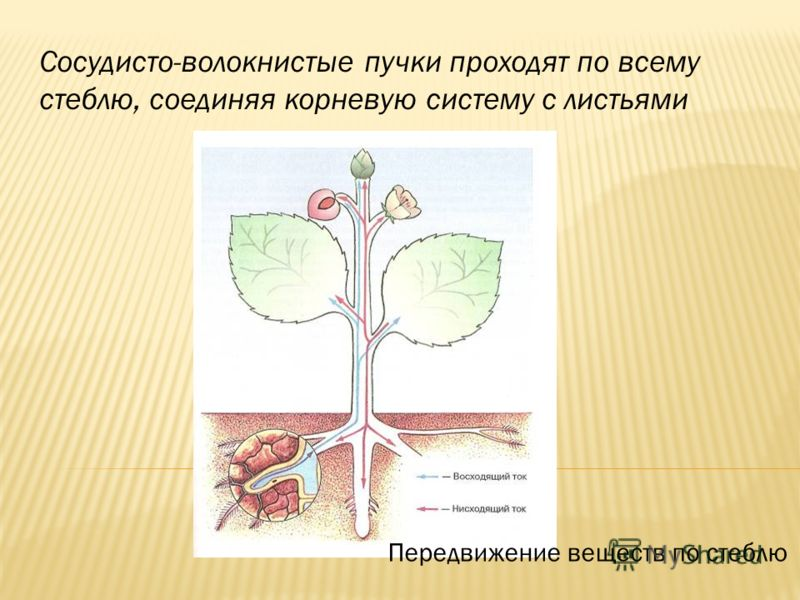 Сосудисто-волокнистые пучки проходят по всему стеблю, соединяя корневую систему с листьями Передвижение веществ по стеблю