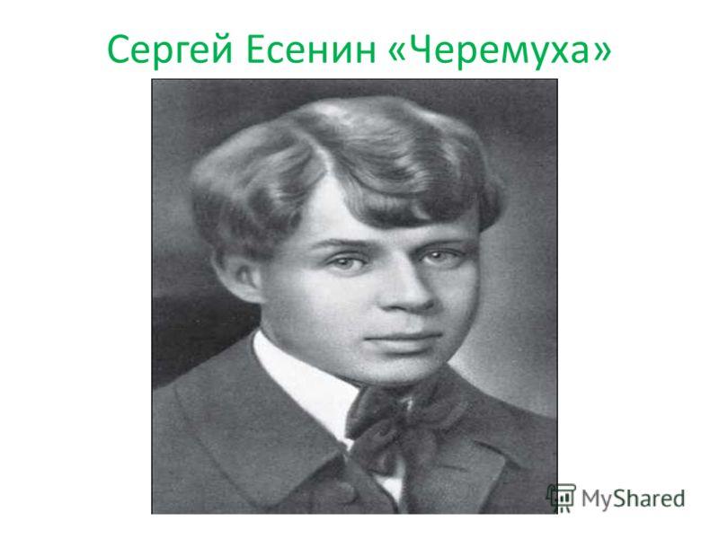 Сергей Есенин «Черемуха»