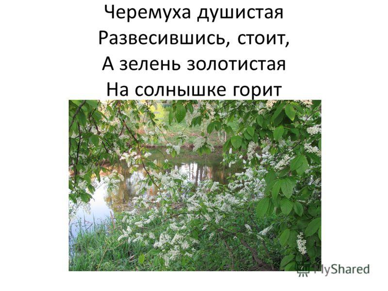 Черемуха душистая Развесившись, стоит, А зелень золотистая На солнышке горит