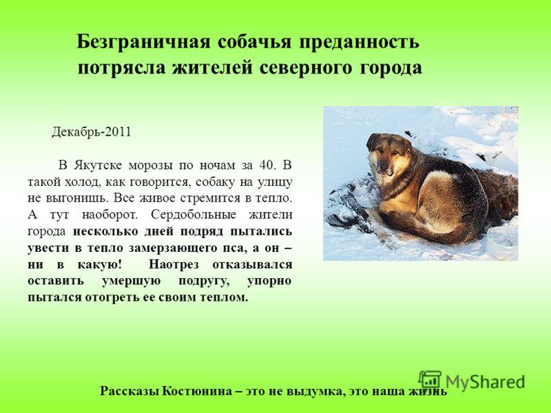 Декабрь-2011 В Якутске морозы по ночам за 40. В такой холод, как говорится, собаку на улицу не выгонишь. Все живое стремится в тепло. А тут наоборот. Сердобольные жители города несколько дней подряд пытались увести в тепло замерзающего пса, а он – ни