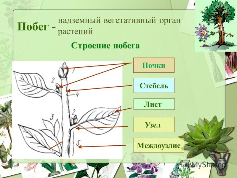 Побег - надземный вегетативный орган растений Стебель Лист Почки Строение побега Междоузлие Узел