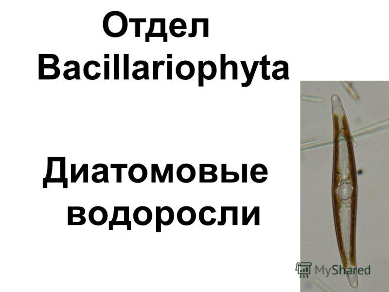 Отдел Bacillariophyta Диатомовые водоросли