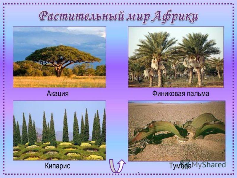 АкацияФиниковая пальма КипарисТумбоа