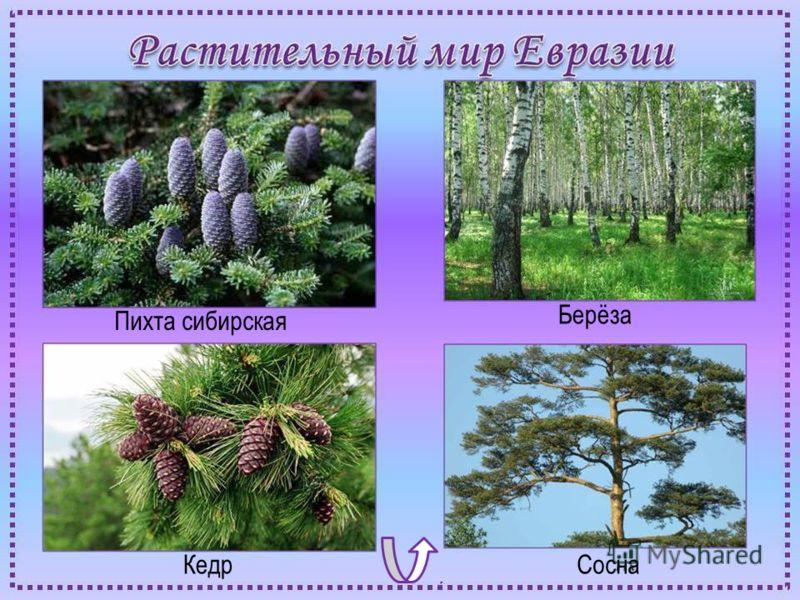 Пихта сибирская Берёза КедрСосна