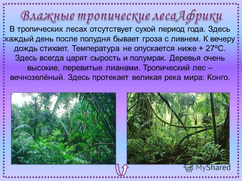 В тропических лесах отсутствует сухой период года. Здесь каждый день после полудня бывает гроза с ливнем. К вечеру дождь стихает. Температура не опускается ниже + 27ºС. Здесь всегда царят сырость и полумрак. Деревья очень высокие, перевитые лианами.