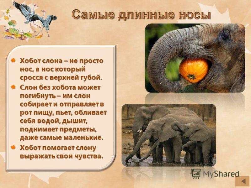 Хобот слона – не просто нос, а нос который сросся с верхней губой. Слон без хобота может погибнуть – им слон собирает и отправляет в рот пищу, пьет, обливает себя водой, дышит, поднимает предметы, даже самые маленькие. Хобот помогает слону выражать с
