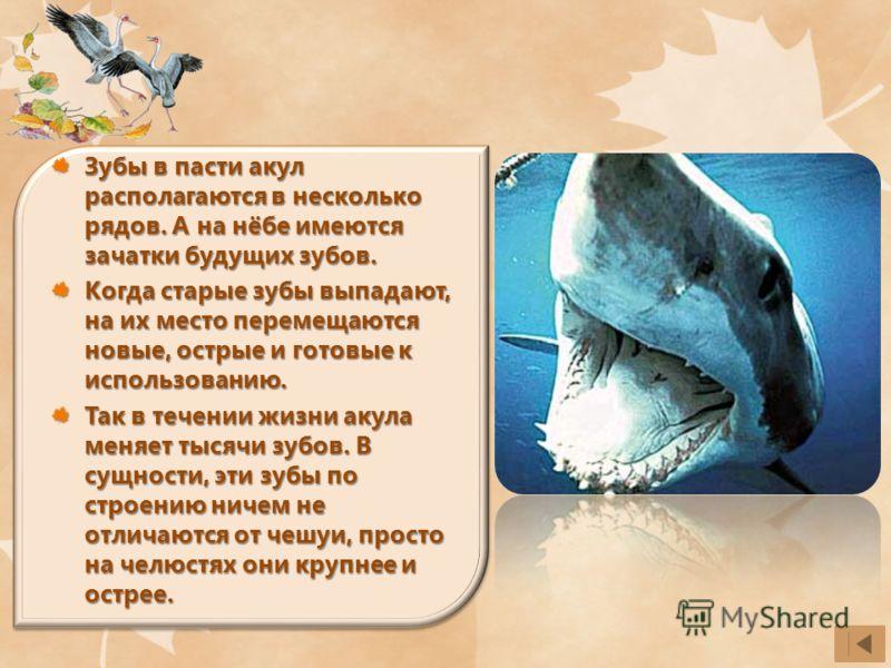 Зубы в пасти акул располагаются в несколько рядов. А на нёбе имеются зачатки будущих зубов. Когда старые зубы выпадают, на их место перемещаются новые, острые и готовые к использованию. Так в течении жизни акула меняет тысячи зубов. В сущности, эти з