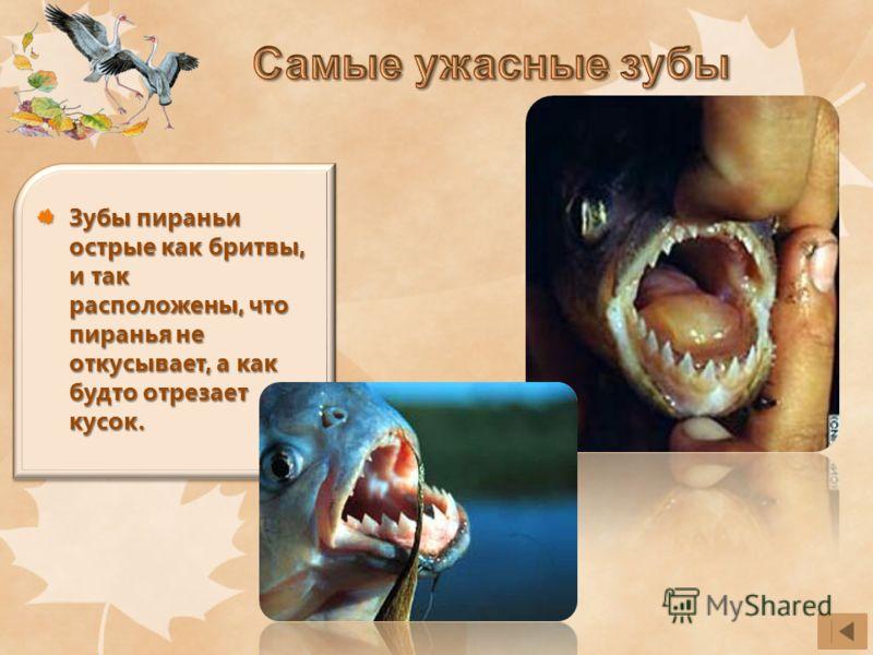 Зубы пираньи острые как бритвы, и так расположены, что пиранья не откусывает, а как будто отрезает кусок.