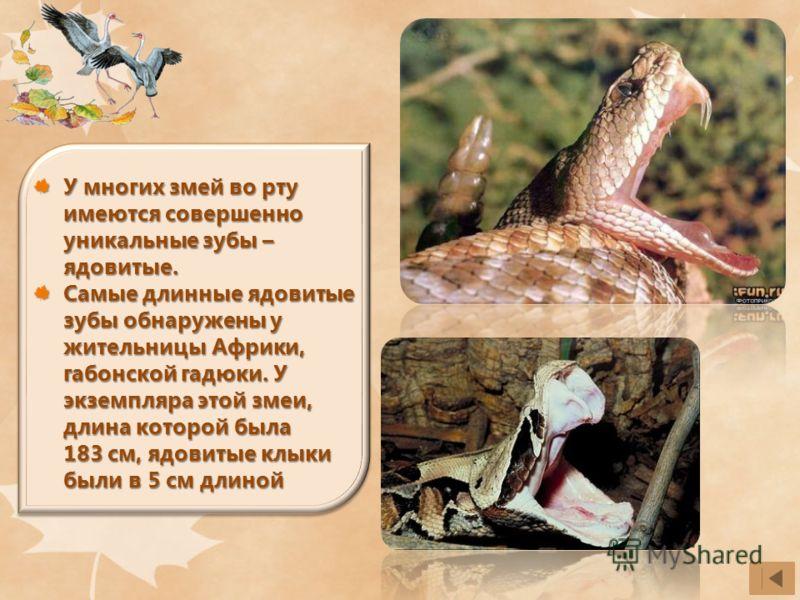 У многих змей во рту имеются совершенно уникальные зубы – ядовитые. Самые длинные ядовитые зубы обнаружены у жительницы Африки, габонской гадюки. У экземпляра этой змеи, длина которой была 183 см, ядовитые клыки были в 5 см длиной
