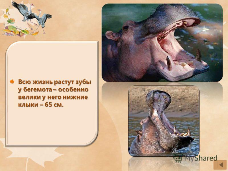 Всю жизнь растут зубы у бегемота – особенно велики у него нижние клыки – 65 см.