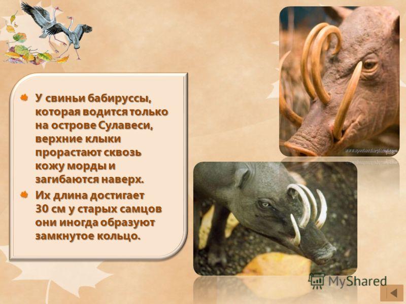 У свиньи бабируссы, которая водится только на острове Сулавеси, верхние клыки прорастают сквозь кожу морды и загибаются наверх. Их длина достигает 30 см у старых самцов они иногда образуют замкнутое кольцо.