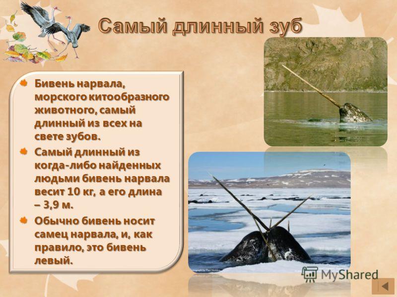 Бивень нарвала, морского китообразного животного, самый длинный из всех на свете зубов. Самый длинный из когда-либо найденных людьми бивень нарвала весит 10 кг, а его длина – 3,9 м. Обычно бивень носит самец нарвала, и, как правило, это бивень левый.