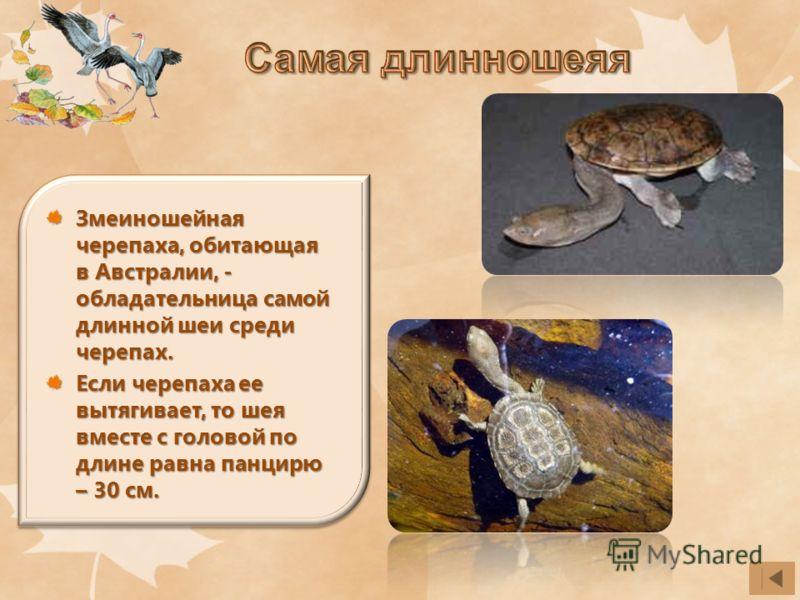 Змеиношейная черепаха, обитающая в Австралии, - обладательница самой длинной шеи среди черепах. Если черепаха ее вытягивает, то шея вместе с головой по длине равна панцирю – 30 см.
