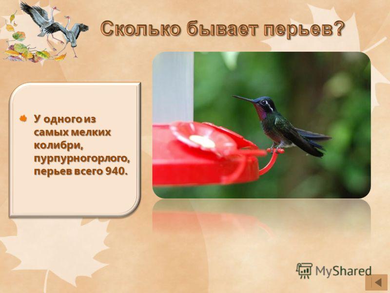 У одного из самых мелких колибри, пурпурногорлого, перьев всего 940.