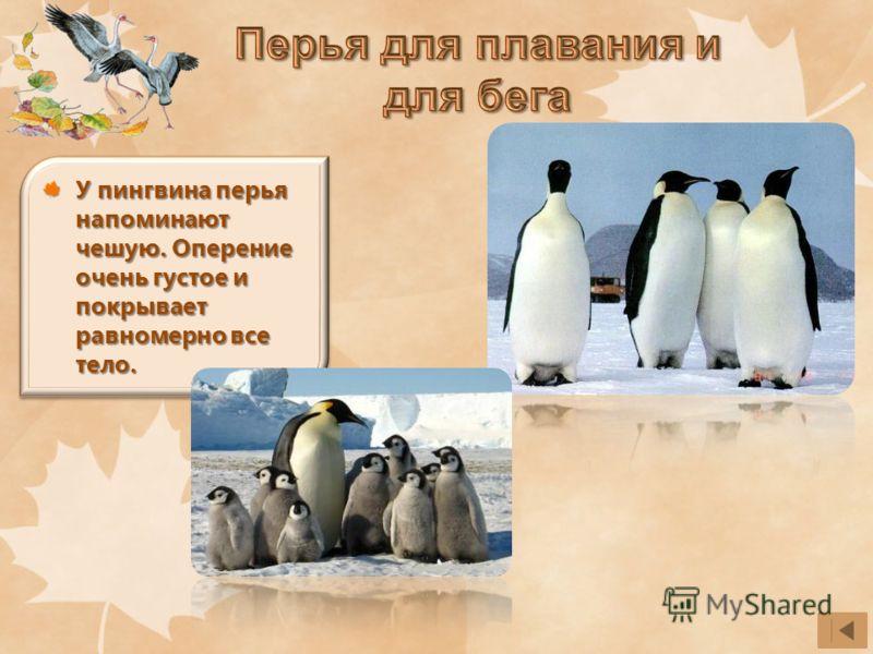 У пингвина перья напоминают чешую. Оперение очень густое и покрывает равномерно все тело.
