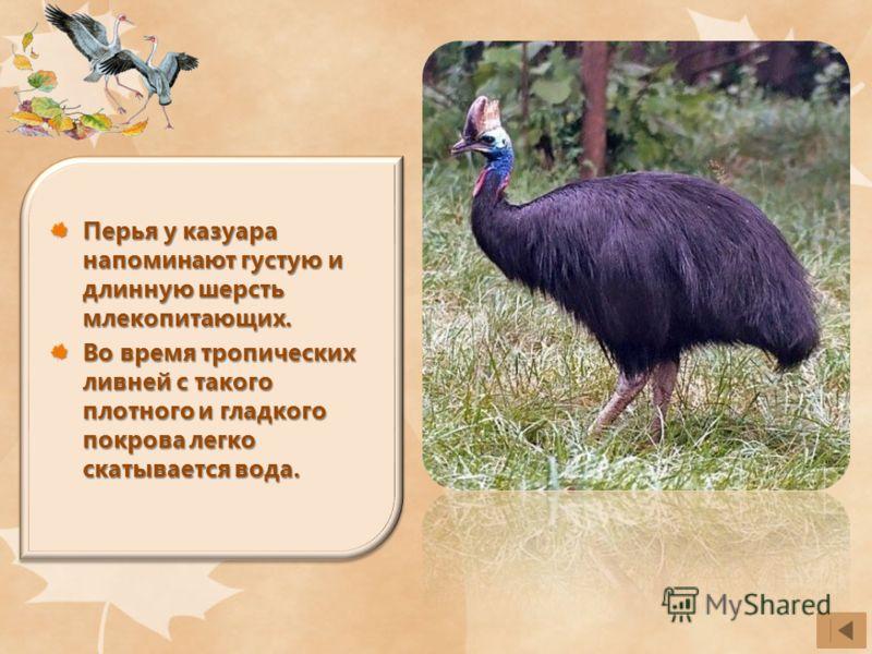 Перья у казуара напоминают густую и длинную шерсть млекопитающих. Во время тропических ливней с такого плотного и гладкого покрова легко скатывается вода.