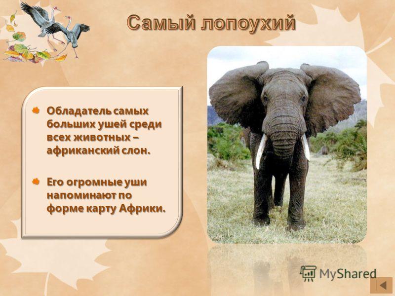 Обладатель самых больших ушей среди всех животных – африканский слон. Его огромные уши напоминают по форме карту Африки.