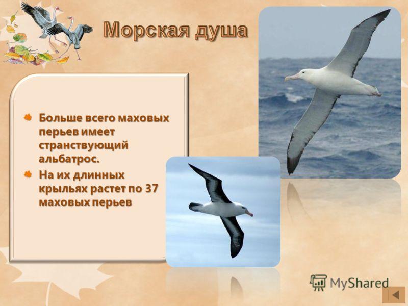 Больше всего маховых перьев имеет странствующий альбатрос. На их длинных крыльях растет по 37 маховых перьев
