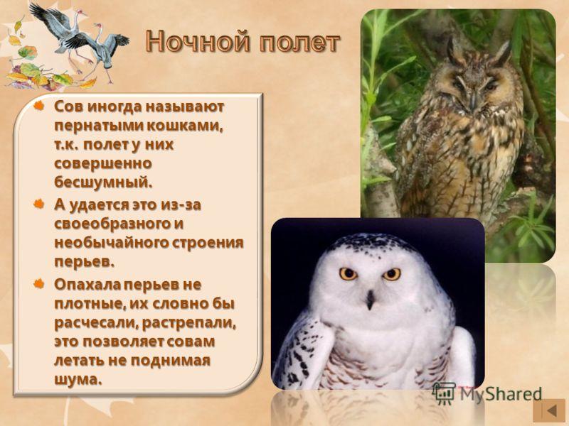 Сов иногда называют пернатыми кошками, т.к. полет у них совершенно бесшумный. А удается это из-за своеобразного и необычайного строения перьев. Опахала перьев не плотные, их словно бы расчесали, растрепали, это позволяет совам летать не поднимая шума