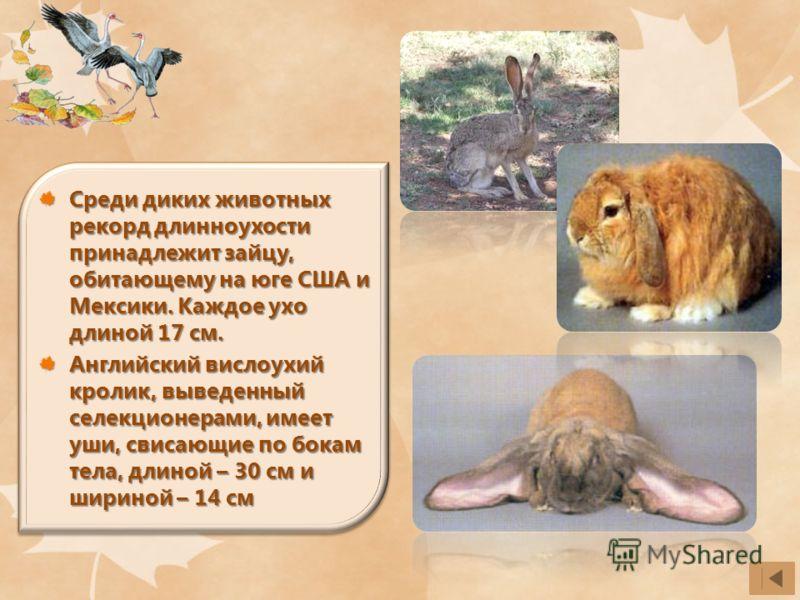 Среди диких животных рекорд длинноухости принадлежит зайцу, обитающему на юге США и Мексики. Каждое ухо длиной 17 см. Английский вислоухий кролик, выведенный селекционерами, имеет уши, свисающие по бокам тела, длиной – 30 см и шириной – 14 см