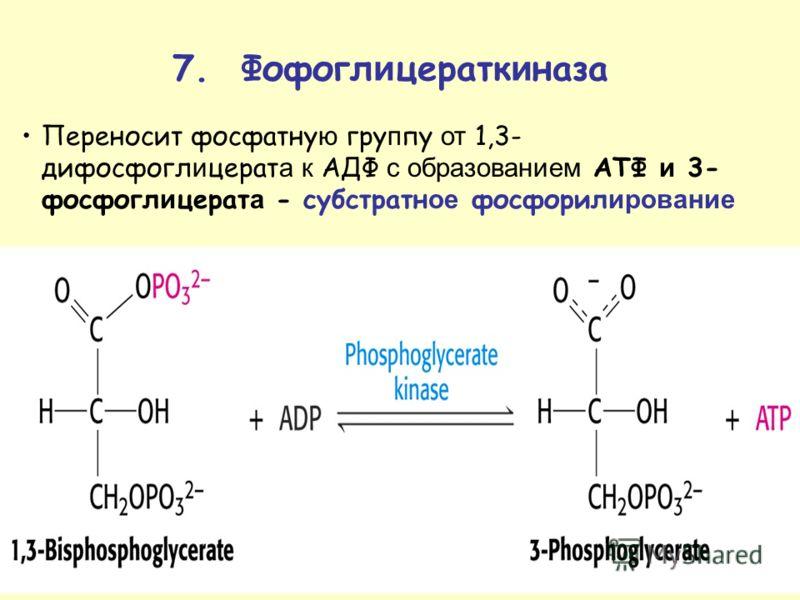 Переносит фосфатну ю гру п пу от 1,3- дифосфогл и церат а к АДФ с образованием ATФ и 3- фосфогл и церат а - субстратн ое фосфорил ирование 7. Фофогл и цератк и наза