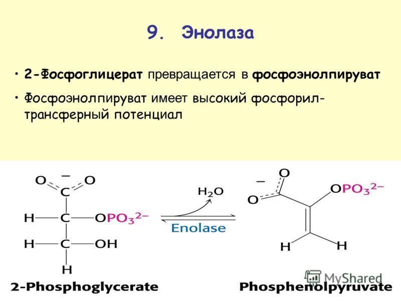 9. Э нолаза 2-Фосфогл и церат превращается в фосфо э нолп и руват Фосфо э нолп и руват имеет в ы сокий фосфорил- трансферн ы й потенц и ал