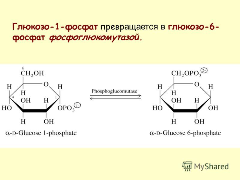 Глюкозо-1-фосфат превр ащается в глюкозо-6- фосфат фосфоглюкомутазо й.