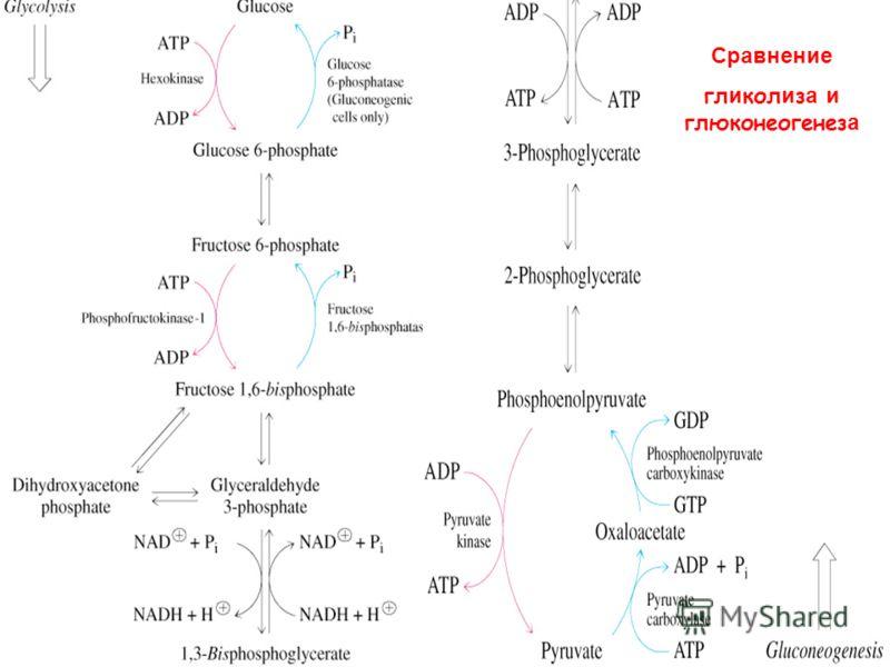 Сравнение гл и кол и з а и глюконеогенез а