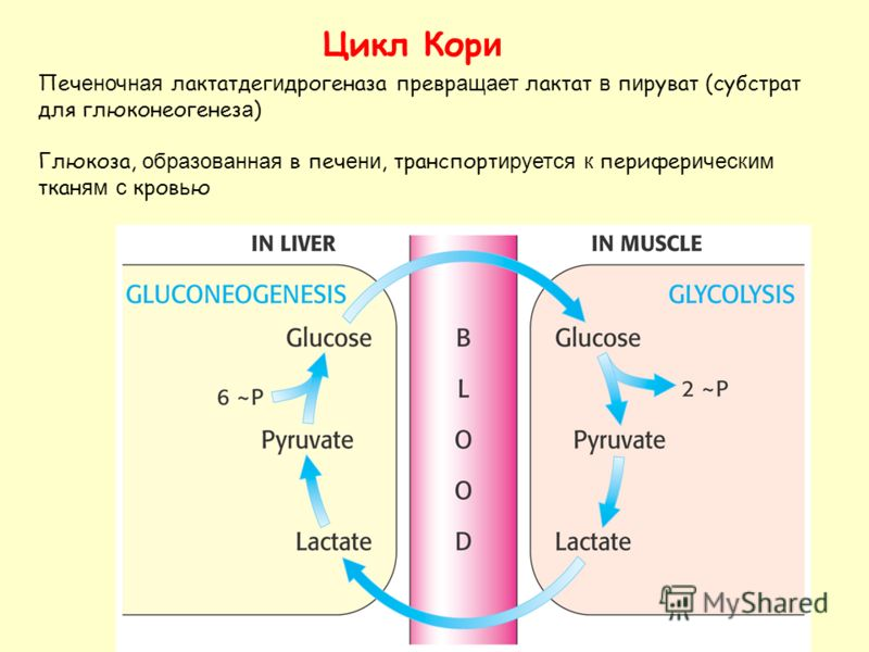 Цикл Кор и Печ еночная лактатдег и дрогеназа превр ащает лактат в п и руват (субстрат для глюконеогенез а ) Глюкоза, образованная в печ ени, транспорт ируется к перифер ическим ткан ям с кров ь ю