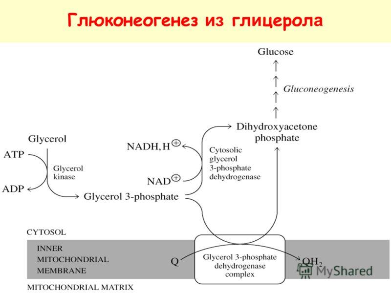 Глюконеогенез из гл и церол а