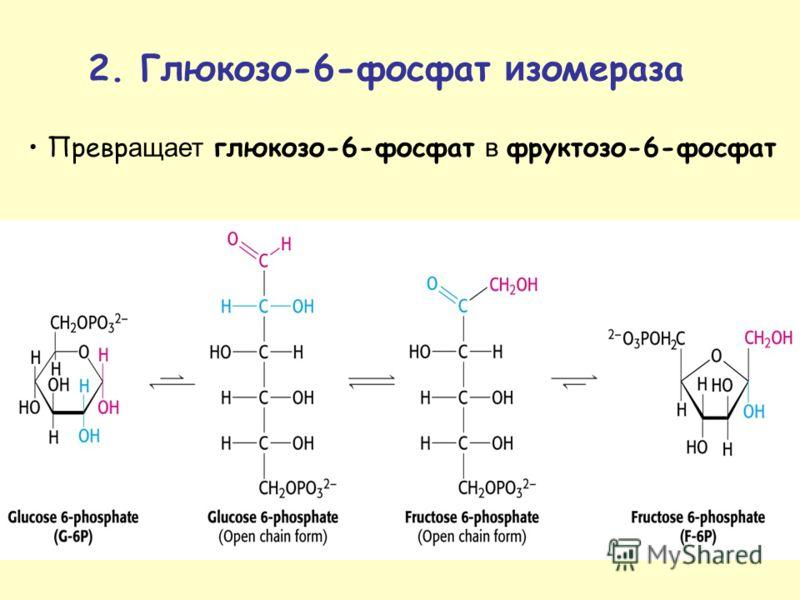 Превр ащает глюкозо-6-фосфат в фруктозо-6-фосфат 2. Глюкозо-6-фосфат и зомераза