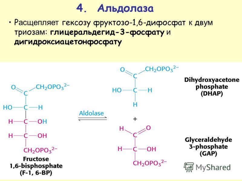 4. Альдолаза Р асщепляет гексозу фруктозо-1,6-дифосфат к дв ум тр и оз ам : гл и церальдег и д-3-фосфату и диг и дроксиацетонфосфату