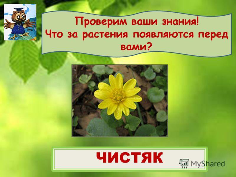 Проверим ваши знания! Что за растения появляются перед вами? ЧИСТЯК