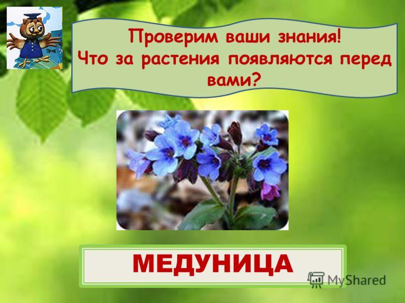 Проверим ваши знания! Что за растения появляются перед вами? МЕДУНИЦА