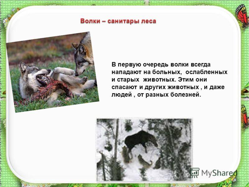 7 В первую очередь волки всегда нападают на больных, ослабленных и старых животных. Этим они спасают и других животных, и даже людей, от разных болезней.