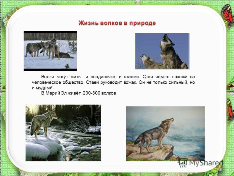 8 Волки могут жить и поодиночке, и стаями. Стаи чем-то похожи на человеческое общество. Стаей руководит вожак. Он не только сильный, но и мудрый. В Марий Эл живёт 200-300 волков