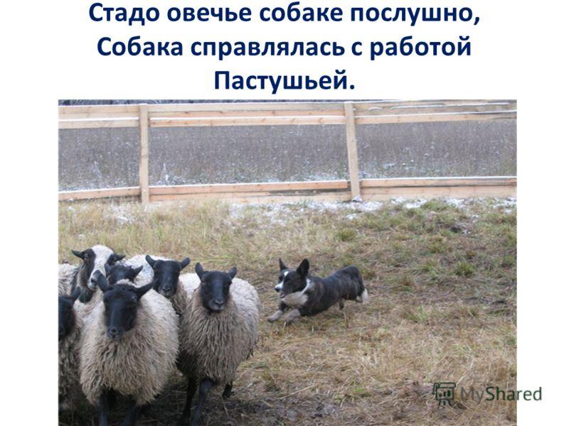 Стадо овечье собаке послушно, Собака справлялась с работой Пастушьей.