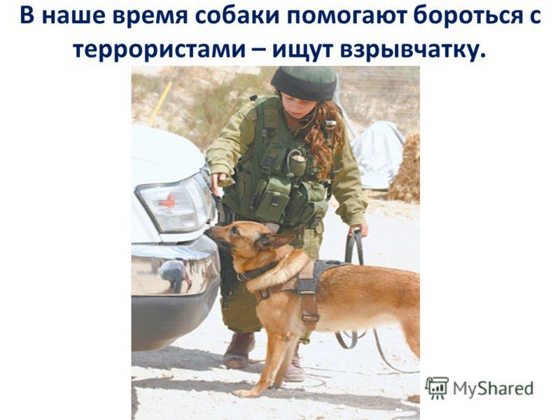 В наше время собаки помогают бороться с террористами – ищут взрывчатку.