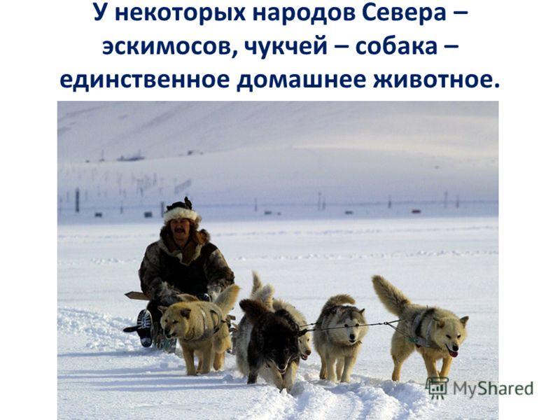 У некоторых народов Севера – эскимосов, чукчей – собака – единственное домашнее животное.