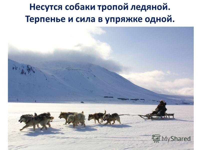 Несутся собаки тропой ледяной. Терпенье и сила в упряжке одной.