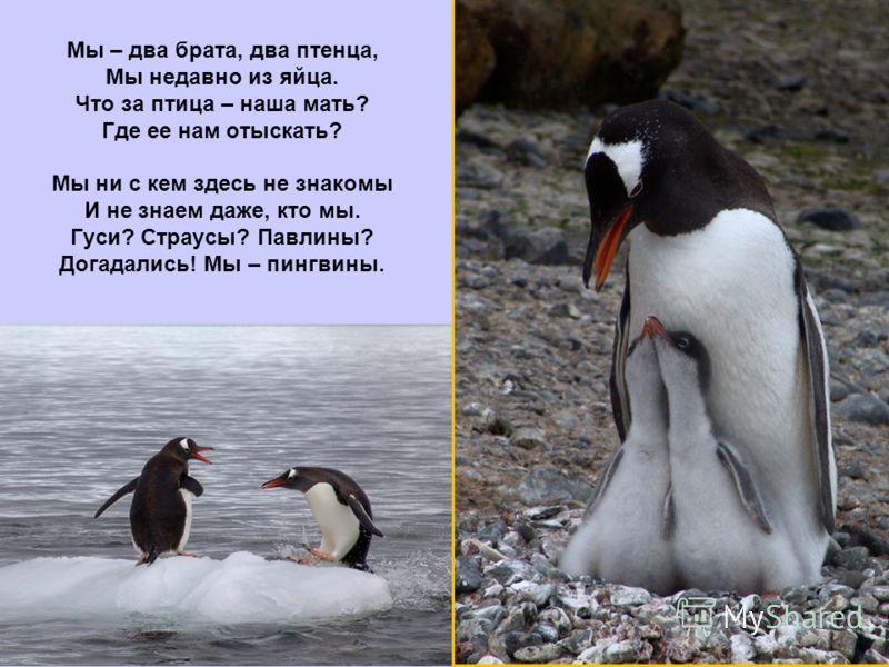Мы – два брата, два птенца, Мы недавно из яйца. Что за птица – наша мать? Где ее нам отыскать? Мы ни с кем здесь не знакомы И не знаем даже, кто мы. Гуси? Страусы? Павлины? Догадались! Мы – пингвины.