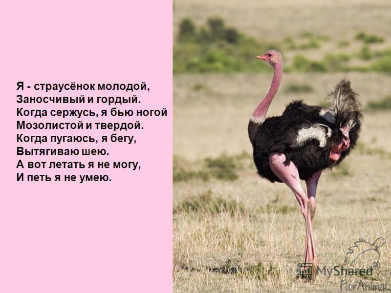 Я - страусёнок молодой, Заносчивый и гордый. Когда сержусь, я бью ногой Мозолистой и твердой. Когда пугаюсь, я бегу, Вытягиваю шею. А вот летать я не могу, И петь я не умею.