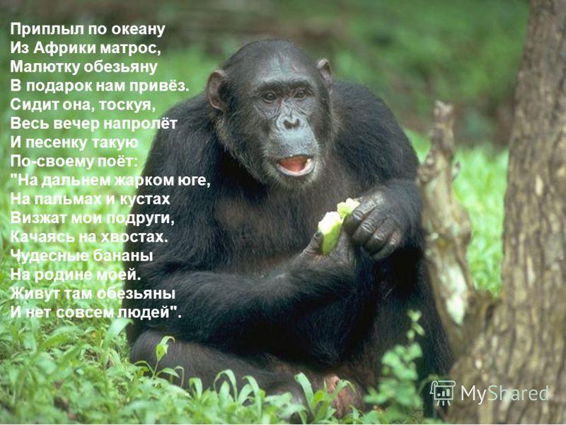 Приплыл по океану Из Африки матрос, Малютку обезьяну В подарок нам привёз. Сидит она, тоскуя, Весь вечер напролёт И песенку такую По-своему поёт: