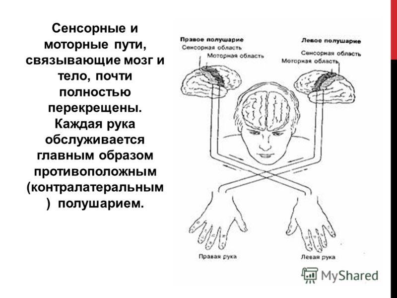Сенсорные и моторные пути, связывающие мозг и тело, почти полностью перекрещены. Каждая рука обслуживается главным образом противоположным (контралатеральным ) полушарием.