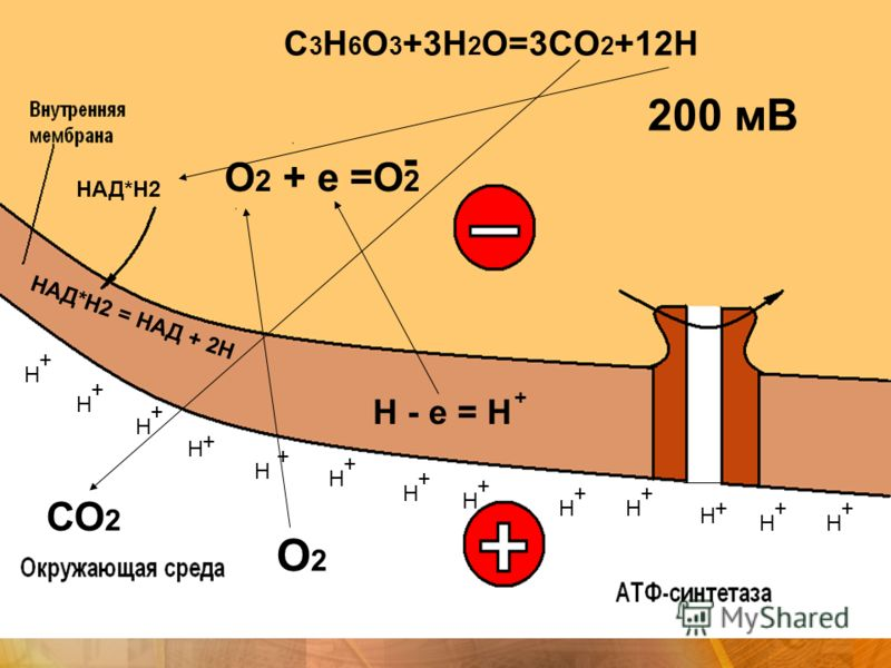 НАД*Н2 = НАД + 2Н СО 2 О2О2 + + + + + + + + + + ++ Н Н Н Н Н Н Н Н НН Н Н Н + Н - е = Н - О 2 + е =О 2 200 мВ НАД*Н2 C 3 H 6 O 3 +3H 2 O=3CO 2 +12H +
